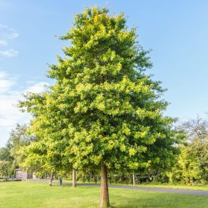 pin-oak-tree-ovv-600x600